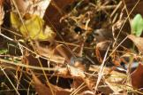 Litle Garter Snake in the Leaves