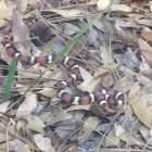 Scarlet King Snake Near Econfina Creek