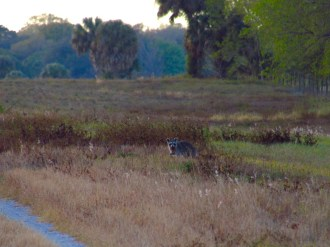 Raccoon Looking Right at Me Along the Kissimmee River