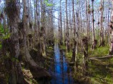 Swamp Tromping in Big Cypress National Preserve