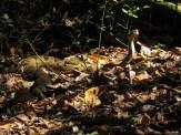 Timber Rattlesnake Near the Pennsylvania/Maryland Border