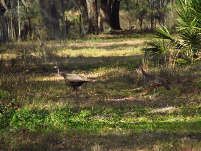 Turkeys in Kissimmee Prairie State Park