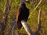 Turkey Vulture along the Southern Glades Trail