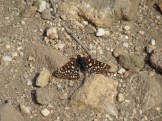 Western Checkerspot Butterfly on Mount San Gorgonio