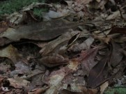 Wood Frog Outside Pawling, New York