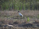 Wood Stork along the Southern Glades Trail