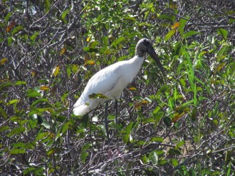 Wood Stork in the Trees on Tamiami Trail