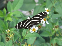 Zebra Butterfly on Tamiami Trail