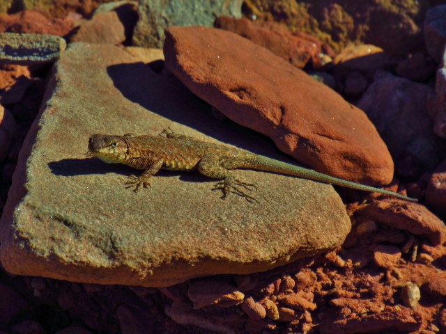 Side Blotched Lizard on the Kane Springs Road