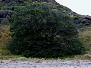 Hinau on Te Werahi Beach at Cape Reinga