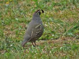 Male California Quail in Waitangi