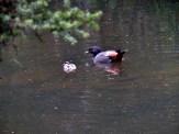 Paradise Shelduck and Duckling on the KeriKeri River
