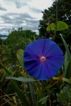 Morning Glory in Paihia