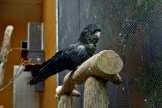 Red Tailed Black Cockatoo in the Aviary at the Dunedin Botanic Gardens