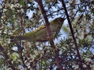 Silvereye on the Wairoa Cosseys Track in the Hunua Ranges