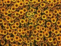 liu-bolin-sunflower