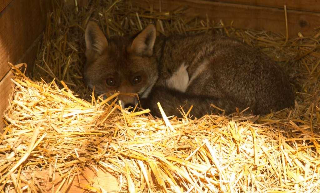 Fox at Wildpark Düsseldorf - Eintritt frei in Düsseldorf