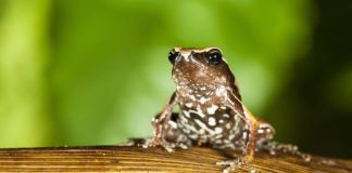Two DU Researchers Discovered A New Genus Of Frogs