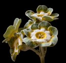 Primula auricula Grey Monarch
