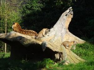 Gruppenbild mit Mama: Dasha mit ihrem Nachwuchs Makar und Arila im Zoo Duisburg. Foto: Petra Grünendahl.
