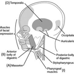 Stapes Anatomy Diagram Trailer Controller Wiring Duke Embryology - Craniofacial Development