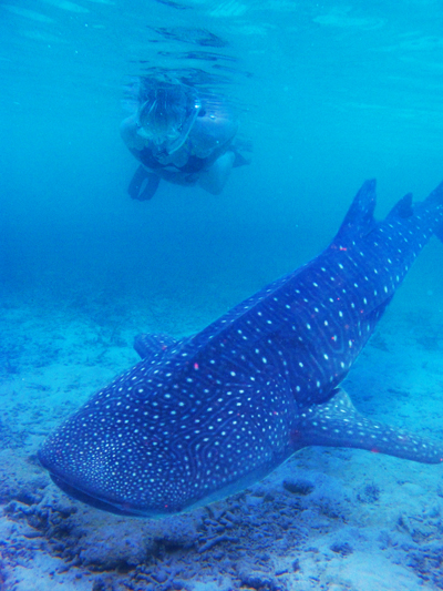 Whaleshark Snorkelling Holiday Romance