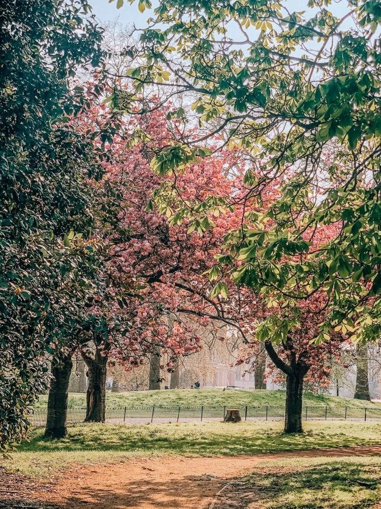 London Cherry Blossom