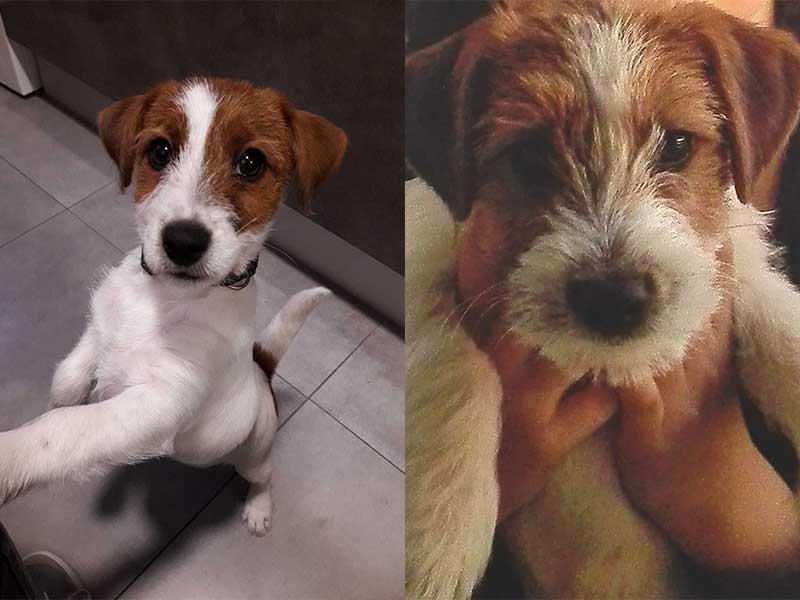 Donación de dos cachorros que se convertirán en perros de alerta médica