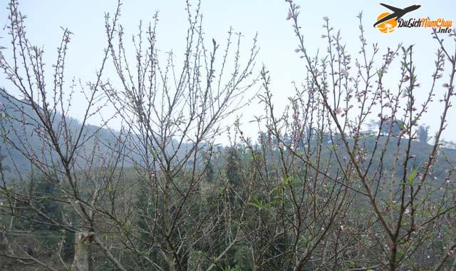 Ngắm hoa đào nở sớm ở Sapa