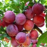 Các loại trái cây vô cùng nổi tiếng ở miền Tây