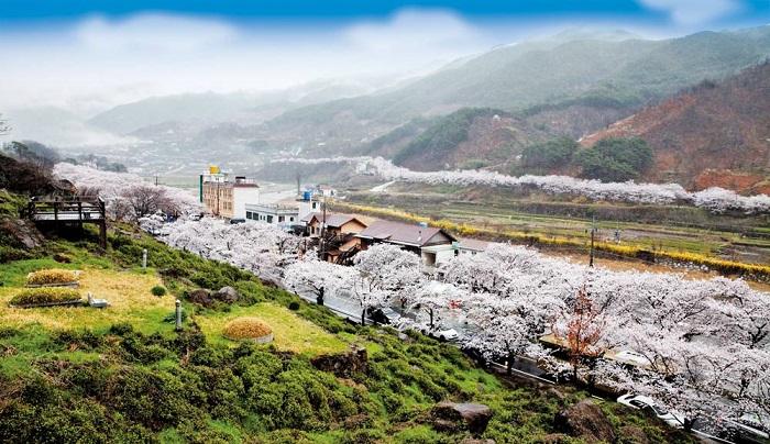 Tới 3 lễ hội xuân thỏa sức ngắm hoa anh đào ở Hàn Quốc