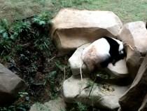 Sleeping Pandas At Zoo Negara