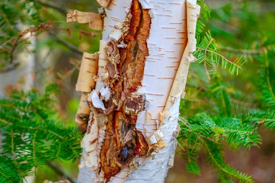 Chaga on a Birch Tree
