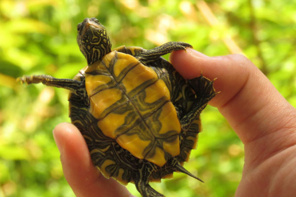 Turtles and reptiles call Dumfounder Island home