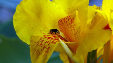 black insect pollinated on yellow-petaled hibiscus flower