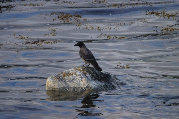 Black Hooded Crow, Straumsbotn Fjord, Isle of Senja, Troms og Finnmark, Norway - ...behind every picture, there is a story...