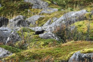 Eurasian Otter, Mefjorden, Isle of Senja, Troms og Finnmark, Norway - ...behind every picture, there is a story...
