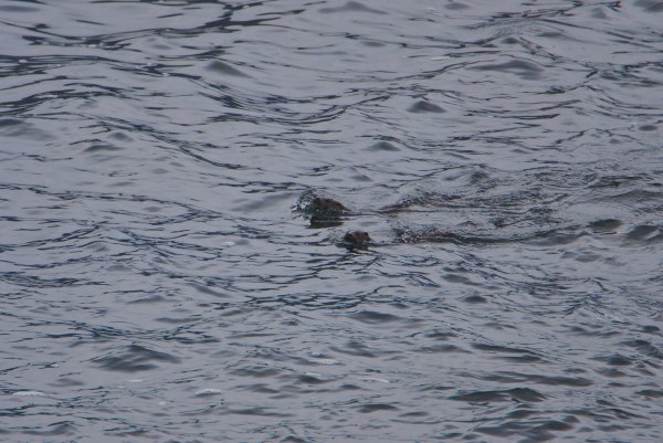 Eurasian Otters, Mefjorden, Isle of Senja, Troms og Finnmark, Norway - ...behind every picture, there is a story...