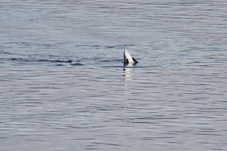 Porpoise in Kval Sound, connecting island of Kvaloya and Kvalsund, Troms og Finnmark, Norway - ...behind every picture, there is a story...