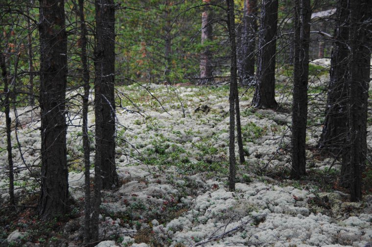 Reindeer Moss (Cladonia Rangiuferna), Grimsbu, Innlandet County, Norway - ...behind every picture, there is a story...