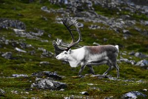 Reindeer, Nordkinn Peninsula, Troms og Finnmark, Norway - ...behind every picture, there is a story...