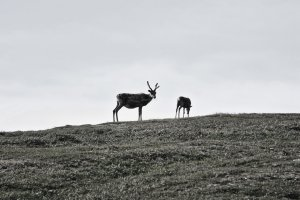 Reindeer, Nordkinn, Peninsula, Troms og Finnmark, Norway - ...behind every picture, there is a story...