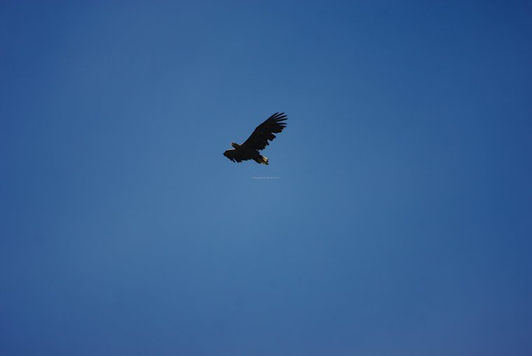 White Tailed Eagle, Lifjord, Langoya Island, Vesteralen Archipelago, Norland County, Norway - ...behind every picture, there is a story...