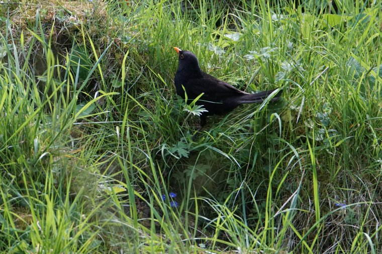 Blackbird, Lothersdale, Craven, North Yorkshire, England - ...behind every picture, there is a story...