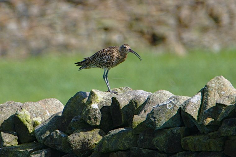 Curlew, Lothersdale, Craven, North Yorkshire, England - ...behind every picture, there is a story...