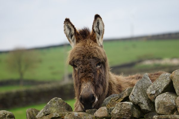 Donkey, Lothersdale, Craven, North Yorkshire, England