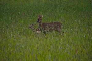 Female Roe Deer with Fawn, Lothersdale, Craven, North Yorkshire, England