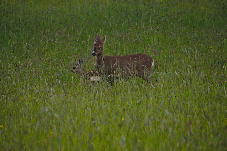 Female Roe Deer with Fawn, Lothersdale, Craven, North Yorkshire, England - ...behind every picture, there is a story...