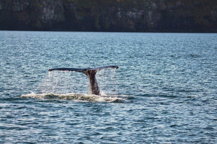 Hump Back Whale, Eyjafjörður Fjord, Iceland - ...behind every picture, there is a story...