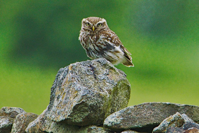 Little Owl or Minerva (Athene Noctua), Lothersdale, North Yorkshire, England